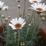 マーガレットとに似ているローダンセマムの花