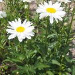 マーガレットとに似ているフランスギクの花