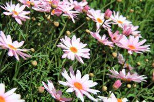 野に咲くピンク色のマーガレット