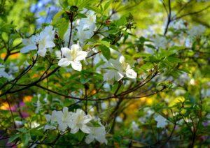春のツツジ
