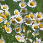 マーガレットに似ているカモミールの花