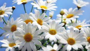 青空をバックにした白いマーガレットの花の写真