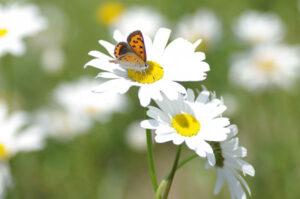 マーガレットの花の蜜を吸うチョウチョ