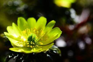 福寿草のお花