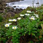 マーガレットに似ているハマギクの花