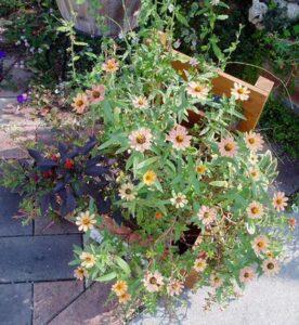 伸びすぎた寄せ植えの花