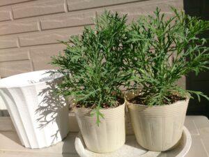 植え替え前のマーガレットのポット苗と空の鉢