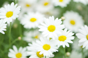 白マーガレットの花群れ
