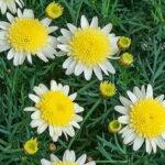 丁子咲きの黄色いマーガレット