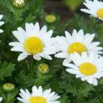 マーガレットに似ているノースポールの花