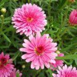 ピンク色の八重咲マーガレット