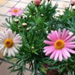 マーガレットモリンバシリーズ サッシー ピンクの花