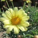 マーガレットモリンバシリーズ マギー パステルイエローの花の拡大写真