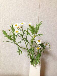 水切れした切り花のマーガレット