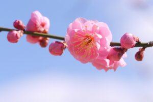 梅の花 開花