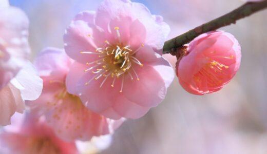 梅の挿し木方法まとめ!最適な時期やコツは?
