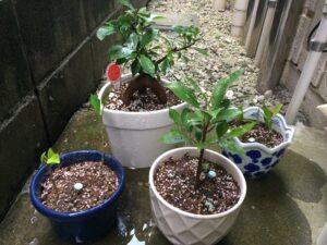 植え替え後のガジュマルとその挿し木がそろった写真