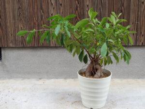 枝葉が伸びて大きく育ったガジュマル