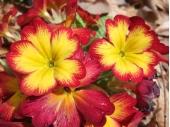 プリムラと寄せ植えで相性OKな花一覧!綺麗に配置するコツは?