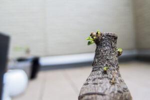 丸坊主剪定されたガジュマルから新芽が出てきた様子