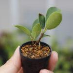 根が生えたガジュマルの挿し穂が土に植えられた様子