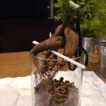植え替え中の根が丸出しのガジュマル