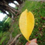 ガジュマルの葉が落ちる、枯れた原因は?復活方法はあるの?