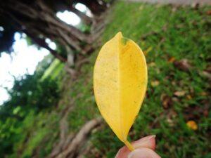 黄色く紅葉したガジュマルの葉1枚