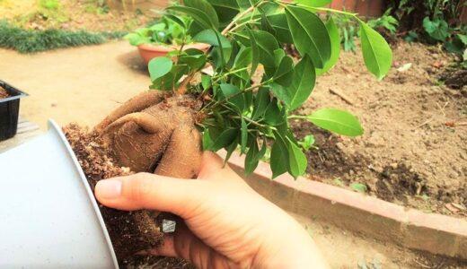 ガジュマルの植え替えまとめ!時期や方法、準備する土は?