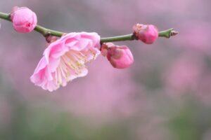 梅の花 桃色