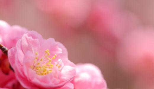 梅の花言葉!赤,白,ピンクなどの色別の意味や由来は?
