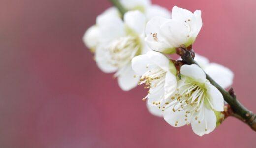 梅の季節はいつ?開花時期と収穫時期をそれぞれまとめ!