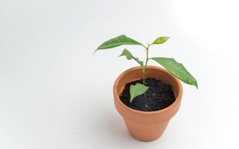 ガジュマルの挿し木方法!気根を太くする成長のコツ、増やし方は?