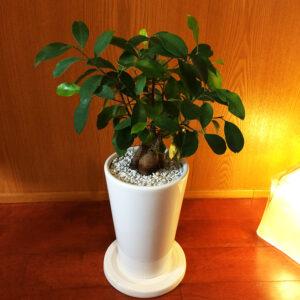 温かな室内照明に照らされた白い陶器鉢に植わったガジュマル