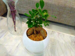 セラミスに植わった丸鉢のガジュマル