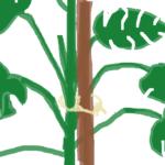 モンステラの支柱の立て方!仕立て直しで伸びすぎて倒れるのを防ごう