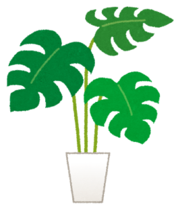鉢植えのモンステラ