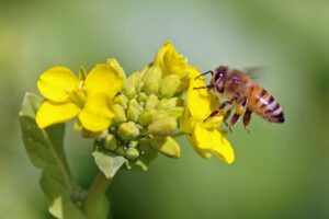 ミツバチがなの花の蜜を吸っている様子