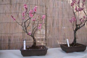 梅盆栽を置く場所
