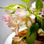 桜盆栽の育て方!剪定や植え替え方法など手入れの仕方は?