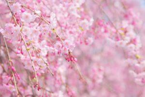 ベニシダレ 桜