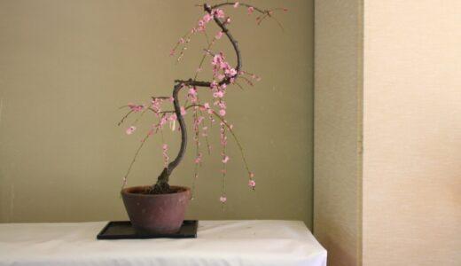 梅盆栽の育て方!植え替え方法や手入れの仕方は?