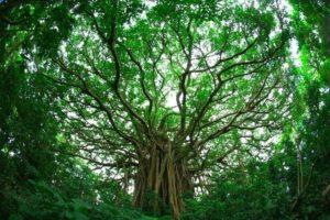 森に自生する巨大ガジュマル