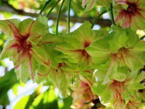 ギョイコウ 桜
