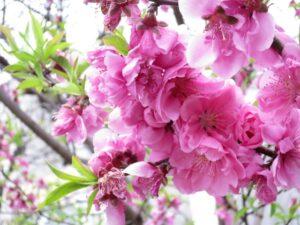 関山 桜の花