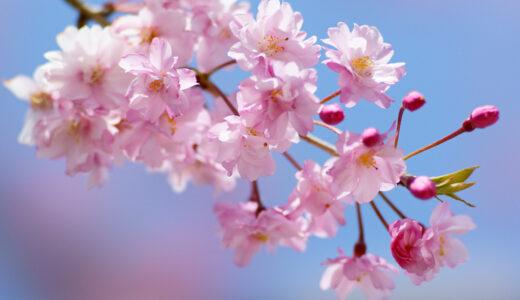 桜の挿し木方法!時期やペットボトルでの挿し木のコツは?