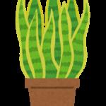 サンスベリアの植え替えまとめ!方法や時期、土は?
