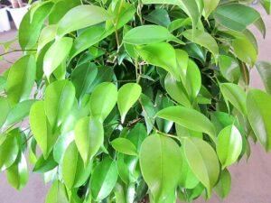 ベンジャミンの葉のアップ写真
