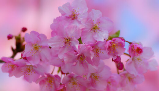 桜の剪定方法まとめ!行う時期や剪定後の切り口はどうする?