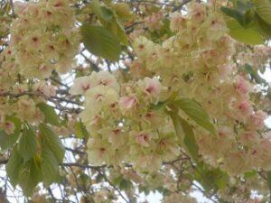 ウコン 桜